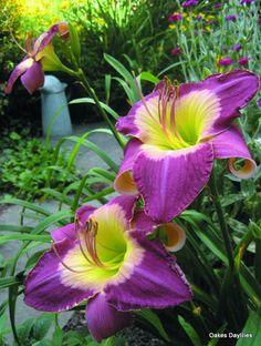 'MALAYSIAN MONARCH', rich purple blooms have a crisp near white watermark around a yellow throat. Award merit.