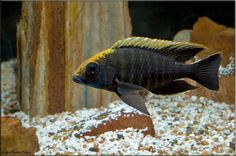 Aulonocara kandeensis & Aulonocara maylandi