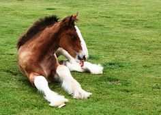 Baby Budweiser Clydesdale laying in the grass. Clysdale Horses, Draft Horses, Show Horses, Black Horses, Breyer Horses, All The Pretty Horses, Beautiful Horses, Animals Beautiful, Beautiful Babies