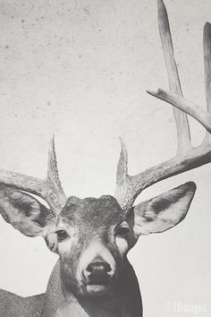 8x12 Buck deer wildlife photography fine art print by f2images