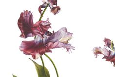 'Tulipa, 'Estella Rijnveld' II' by Fiona Strickland, Signed Watercolour on Fabriano Artistico HP Paper 19 x x Botanical Flowers, Flowers Nature, Botanical Prints, Watercolor Disney, Watercolor Flowers, Watercolor Art, Nature Illustration, Watercolor Illustration, Tulip Drawing