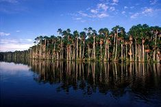 Flooded Mauritia palm forest; Sandoval Lake in the Amazon Rainforest, Peru (America, southern continent) Photo: Mylene d'Auriol Stoessel