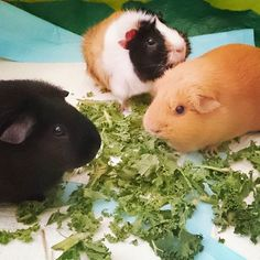The three muskateers - L-R - Theon, Kim & Lilly-Pig <3 Guinea pig pigs boar sow