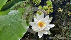 Photo about A wonderful beauty of the Danube Delta - the water lily - up close from above with nice detail on the staminas. Image of staminas, lily, beauty - 49060293 Danube Delta, Japanese Art, Close Up, Lotus, Beautiful Flowers, Lily, Stock Photos, Detail, Water