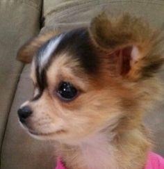 So cute Cute Chihuahua, Teacup Chihuahua, Chihuahua Puppies, Cute Puppies, Cute Dogs, Dogs And Puppies, Doggies, Cute Baby Animals, Funny Animals