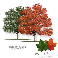 Bigtooth Maple - Drought tolerable, handles shade, Texas Hill country native, reliable fall color (Orange, red or yellow)