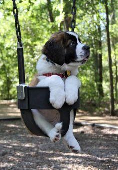 St Bernard Puppy rides a swing