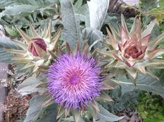 Flor de mi planta de alcachofa Artichoke Flower, Sea Holly, Beautiful Flowers, Inspire, Garden, Inspiration, Artichokes, Sacred Geometry, Plants