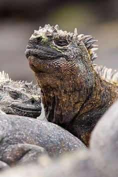 Marine iguana from the Galapagos Islands. (Check these guys out in Master and Commander [movie] :D Reptiles And Amphibians, Mammals, Beautiful Creatures, Animals Beautiful, Marine Iguana, Chameleon Lizard, Animals And Pets, Cute Animals, Komodo Dragon