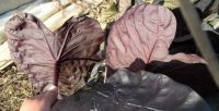 briansbotanicals - Colocasia Black Sapphire Gecko ppaf