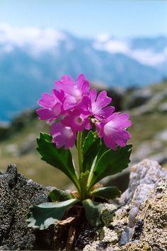 PRIMULA DAONENSIS (Primula di Val Daone. Val-Daone Primel Primevère du val Daone). Primulaceae