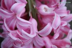 greek mythology flowers | hyacinth greek mythology , Hyacinth Flowers