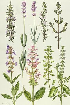 Rosemary And Other Herbs_Elizabeth Rice