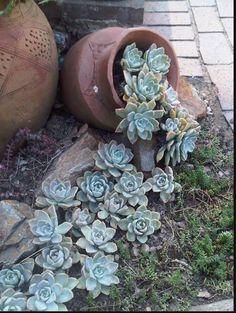 Succulentes.