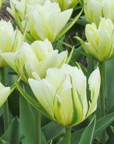 Tulip Exotic Emperor, PN £3.50 for 10.