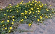 KOTVIČNIK  Tribulus terrestris prostredie pestovanie Plants, Plant, Planets