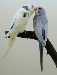 Budgies Parrot, Parakeets, Parrots, Love You Images, Cute Birds, Animals Beautiful, Sketches, Pets, Paintings