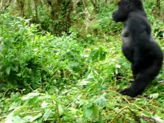 Silverback mountain gorilla charging in Rwanda Mountain Gorilla, Show Us, Roosters, Black Bear, My Animal, Blessings, Blessed, Peace, Youtube