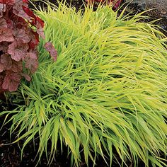 All Gold Golden Hakone Grass, for shade and deep shade areas