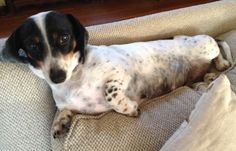 Say hello to Rhubarb. She is a 3 year old pie bald dachshund and mom to Bismarck and Strudel pups. She is finishing up nursing the pups so she still has a little mama weight to loose and will be down to her little black dress weight of 13# in no...