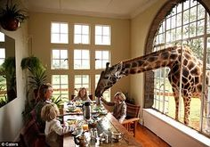 feed a giraffe from the dining room table