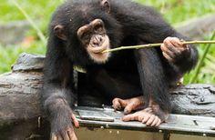Les chimpanzés parlent entre eux… Par gestes