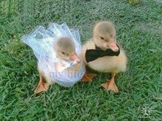 Ok so now I need baby ducks, a mini bridal dress, and a bow tie. I'm writing a checklist as we speak.