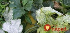 You don't have to garden long to become acquainted with the disease called powdery mildew, which creates whitish patches on the leaves of many plants. I have found that it can be controlled with regular sprays of milk and water. List Of Vegetables, Winter Vegetables, Planting Vegetables, Garden Pests, Edible Garden, Vegetable Garden, Powdery Mildew Treatment, Grow Squash Vertically, Organic Gardening