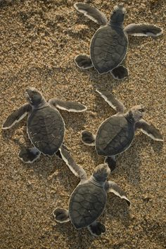 ˚Group of endangered Green sea turtle (Chelonia mydas) hatchlings crawling towards the ocean by Chris Johnson