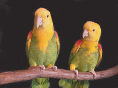 Magna Double Yellow-Headed Amazon Parrot