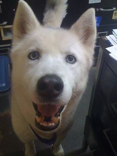 Happy #FurryFriend Friday! Meet Bruschi, an 8 year-old husky/shepherd mix up for adoption at the Lowell Humane Society in Lowell, #MA