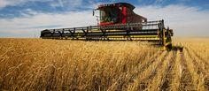 Modern Combine Harvester Working On Wheat (editar agora): foto stock 18628240