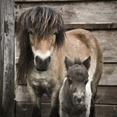 A mini-Shetland pony mother with her four-day old foal