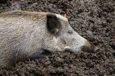 Free stock photo: Nature, Animals, Wild Boar, Female - Free Image ...