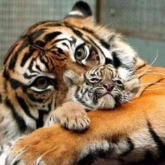 Mommy and baby tiger love Animals And Pets, Baby Animals, Funny Animals, Cute Animals, Animals Images, Wild Animals, Exotic Animals, Beautiful Cats, Animals Beautiful