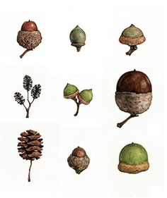 acorns, via Flickr.