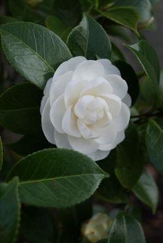 My Flower, Flower Art, Flower Power, White Flowers, Beautiful Flowers, Ranunculus Flowers, Design Floral, Bloom Blossom, White Gardens