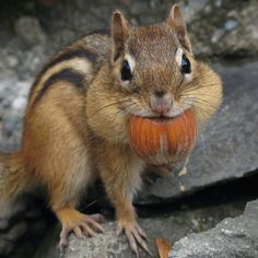 A Chipmunk stuffing his face with the nuts!