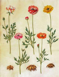 Gottorfer Codex, vol. 3, gouache on parchment by Hans Simon Holtzbecker, Ranunculus asiaticus