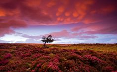 A stormy sunset gathers pink clouds over the heather carpeting Dunkery Hill in Exmoor National Park.