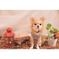 今日はオフだったので生地の買い出し☺︎ ちびの撮影用シーチングを作ってみた‼︎ 適当に作ったから反省点がいっぱい... ・ ・ 単焦点が欲しくなってきた〜♡ ︎ ・ ※Dog goods Shop Petit Chien※ ショップアカウント⇩ @petitchien2016 ・ ・ ※interior shop BeachHouse※ ショップアカウント⇩ @beach.house2016 ・ ・  nikon D3300 tamron SP90mm F2.8 MACRO ・ #chihuahua#dog#instadog#dogstagram#instapet#pet#petstagram#instalike#mydog#lovemydog#dogsofinstagram #dogfashion#doggy#east_dog_japan #犬バカ部#愛犬#チワワ#ロンチー #ペット#ロングコートチワワ#モデル犬  #カメラ女子#写真好きな人と繋がりたい#ファインダー越しの私の世界#NIKON#iGersJP#chihuahualove_feature#pecoいぬ部