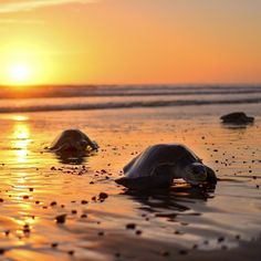 It's #turtle nesting season! Don't miss a night tour to Playa Ostional to see the mass annual olive ridley sea turtle nesting! Photo via @bodhitreeyogaresort! #CostaRicaExperts #CostaRica