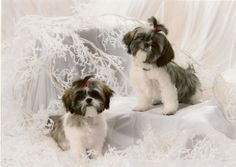 shih tzu | ... Dellie, animals, babies, bows, cute, pets, puppies, Shih Tzu, white
