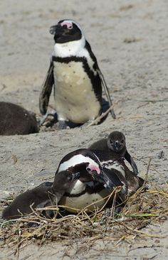 Volunteer abroad with Via Volunteers in South Africa and help to rehabilitate the African penguin! https://www.viavolunteers.com/ African Penguins