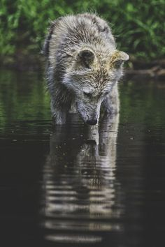 Tumblr (wolf,photography,nature,beauty)