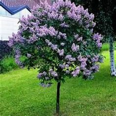 Lilac Tree I want one in my back yard!
