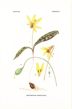1926 Botany Print - Erythronium Americanum - Yellow Trout Lily - Vintage Antique Flower Art Illustration Book Plate for Framing