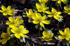 Winterling (Eranthis hyemalis) <3