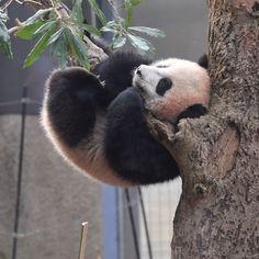 takahiro takaujiさんはInstagramを利用しています:「2018.02.16 #上野動物園 #パンダ #シャンシャン #uenozoo #giantpanda #panda #xiangxiang」