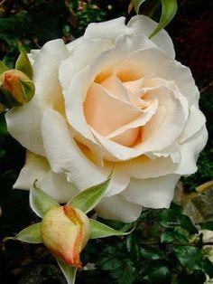 Captivating Why Rose Gardening Is So Addictive Ideas. Stupefying Why Rose Gardening Is So Addictive Ideas. Amazing Flowers, Beautiful Roses, Beautiful Flowers, White Roses, Red Roses, Rosa Rose, Coming Up Roses, Hybrid Tea Roses, English Roses
